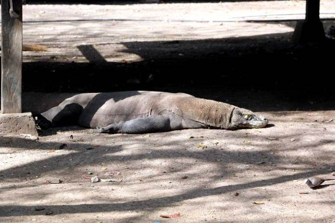 Some residents of Rinca island, most of the time sleep around rangers' house. Flores backpacking guide