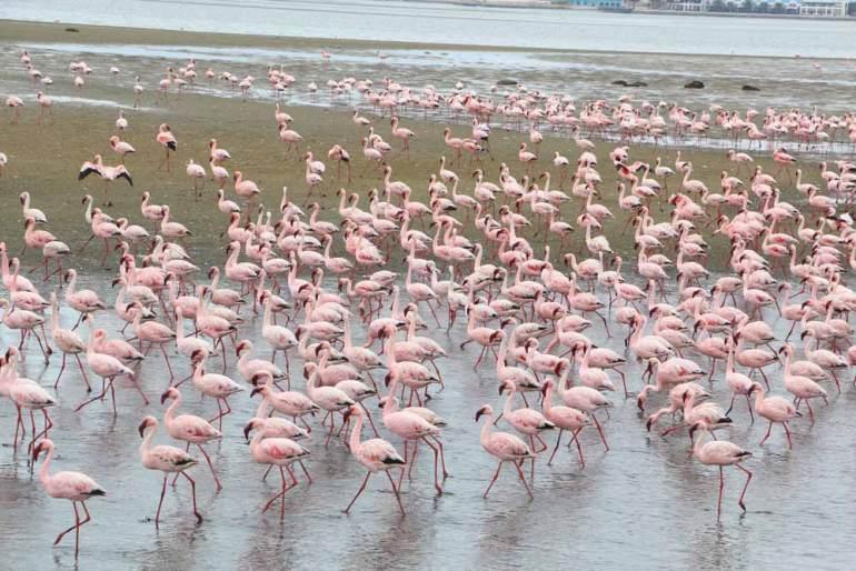 Pink flamingos in Walvis Bay, Namibia