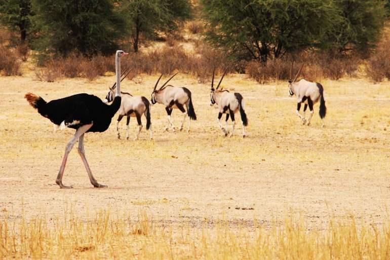 gemsbok ostrich kgalagadi