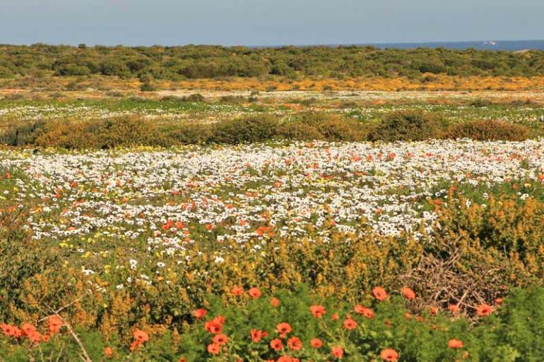 A carpet of flowers on the West Coast driving route