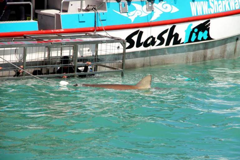 Shark cage diving in Cape Town