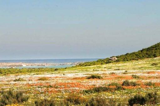 A flower field along the coast of Namaqualand