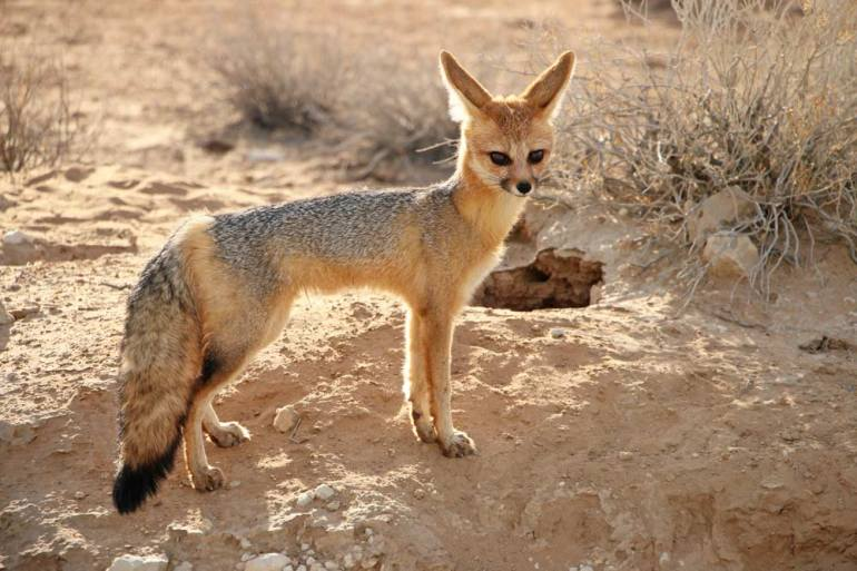 A Cape fox next to its hole in the Kgalagadi, Northern Cape