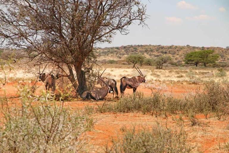 Four gemsboks hiding from the heat under the tree
