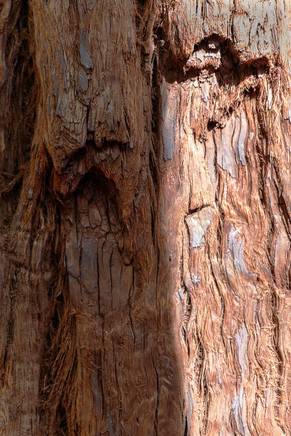 North face of a redwood near sunset
