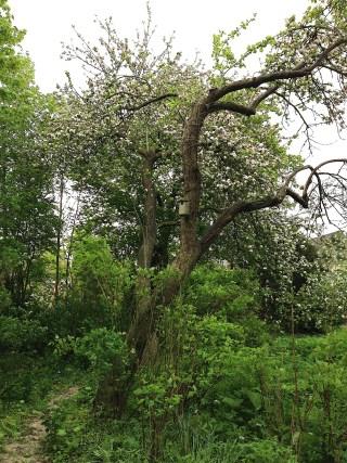 Oude vruchtbomen: perenboom (nog niet bekend) en 2 appelbomen (vermoedelijk English Winter Goldpearmain en Limoenappel). 22 mei 2013.