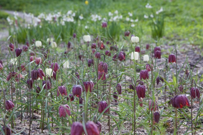 16 April 2015. Snake's Head Fritillaries and, in the background, Summer Snowflakes.