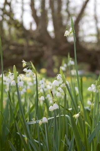 Zomerklokken bij Stinze Stiens. Dit is de Leucojum aestivum 'Gravetye Giant', een cultivar die in 1924 door de Engelse tuin- en landschapsarchitect en schrijver William Robinson geselecteerd werd en genoemd naar zijn landgoed in Sussex. Hij woonde er van 1884-1935.