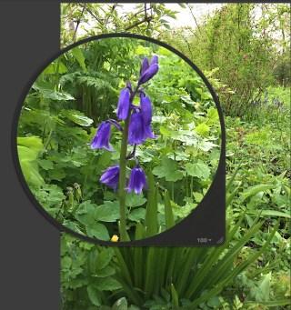 Wilde hyacint, veel donkerder van kleur dan die op de foto links. Stinze Stiens.