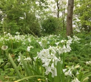 Driekantig look (Allium triquetrum) bij Stinze Stiens