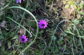 Slovenië, Anemone hortensis. Foto: Stinze Stiens.