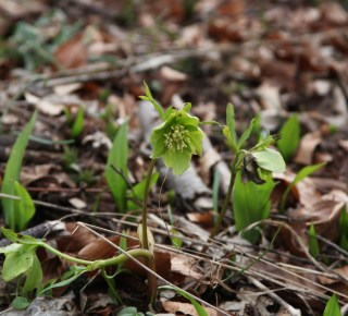 Slovenia, Helleborus odorus. Photo: Stinze Stiens.