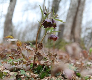 Slovenia, Helleborus artrorubens. Photo: Stinze Stiens.