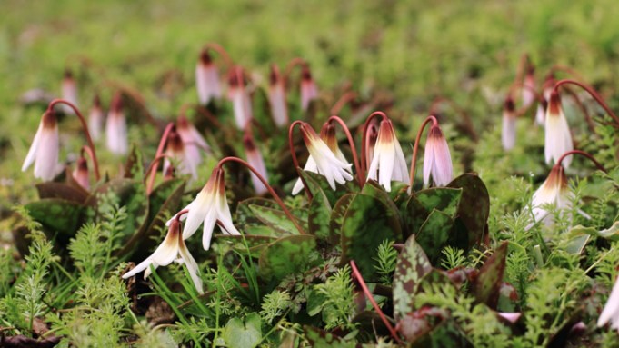 Dog's Tooth Violet at Stinze Stiens. Photo: Dina van der Meulen.