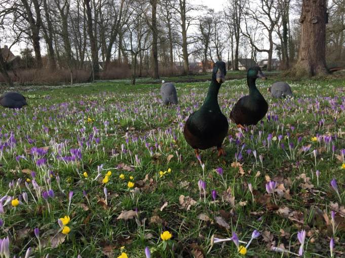 The ducks and guinea fowls between de Tommasini's crocuses and Winter Akonites at Philippusfenne.