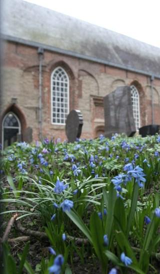 Oosterse sterhyacint (Scilla siberica) bij de St. Vituskerk in Stiens.