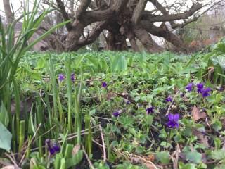 Sweet violet at Stinze Stiens.