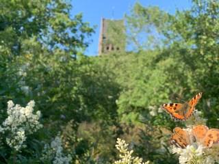 Kleine vos en Distelvlinder op Wilde liguster.