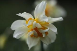 Narcis Insulinde bij Stinze Stiens.