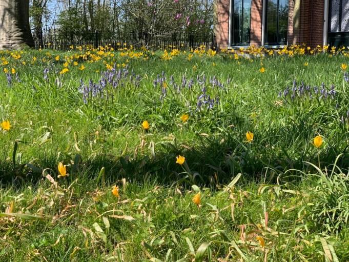 Bostulpen en Wilde hyacint in de pastorietuin in Jelsum.