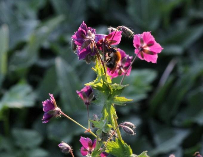 Hommel op Donkere ooievaarsbek (Geranium phaeum) bij Stinze Stiens.