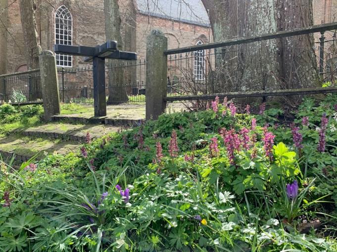 Holwortel bij de Stl Vituskerk Stiens.