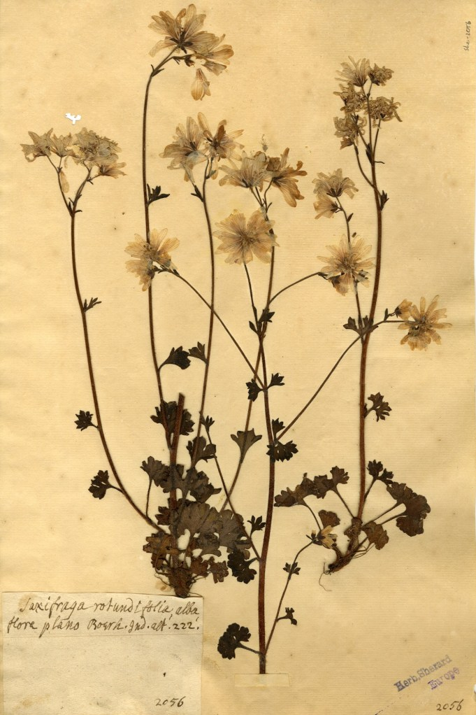 William Sherard ('Saxifraga rotundifolia, alba flore pleno'