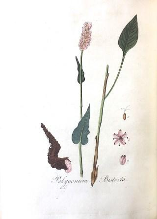 Common bistort (Persicaria bistorta), vroeger Polygonum Bistorta in: J. Kops, Flora Batava, Amsterdam (J.C. Sepp en zoon), vol. IV, 1822.