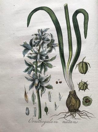 Drooping Star-of-Bethlehem in: J.C. Sepp, Jan Kops, Flora Batava, vol. IV, 1822.
