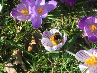 Schierstins: bumblebees fly off and on at the Dutch Crocus.