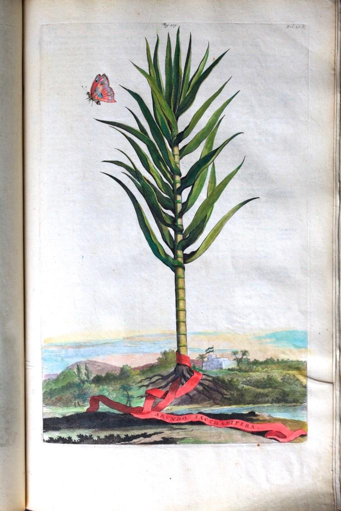 Arundo Saccharifera. Munting 1696.