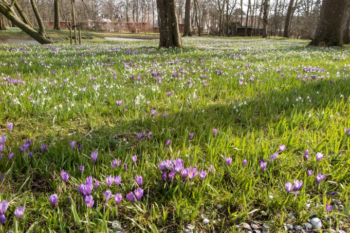 Dutch Crocuses and Snowdrops at Martenastate.