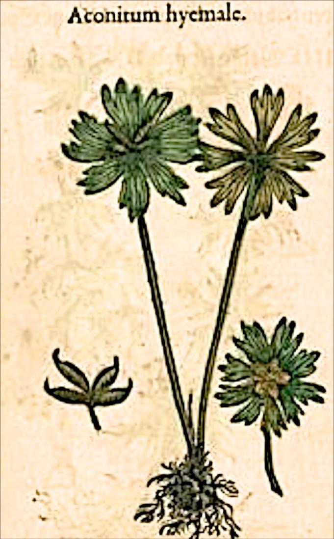 Matthioli Aconitum hyemale