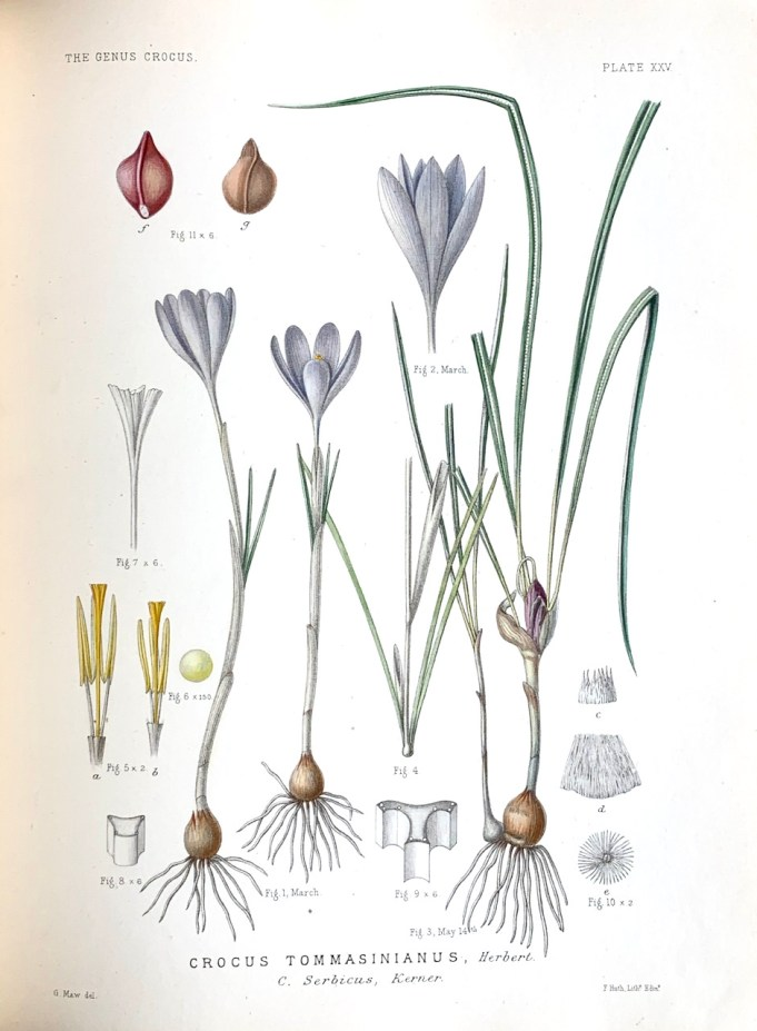 George Maw, Monograph of the Genus Crocus, 1886. Crocus tommasinianus.