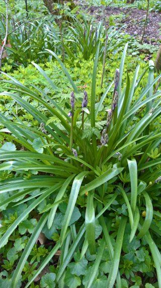 The Wild hyacint starts flowering at Dekema State