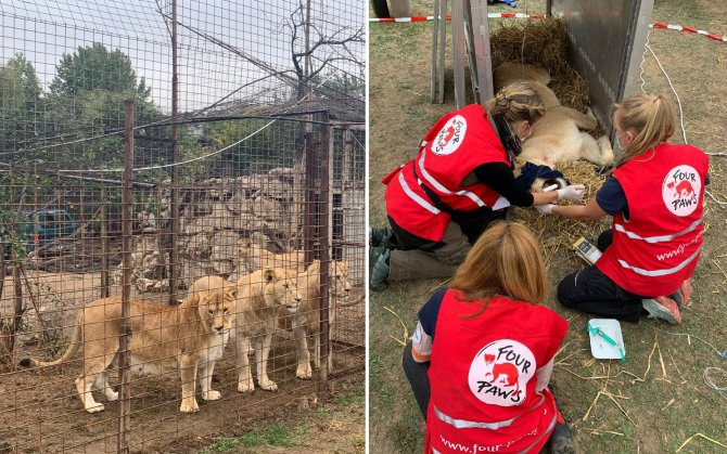 Șapte lei salvați dintr-un sat din România și duși într-un sanctuar din Olanda