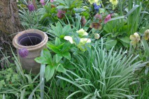 Hellebores and Fritilarias (unsure of spelling)