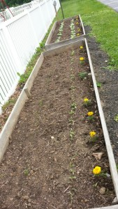 new plants growin gin raised flower beds at st james church