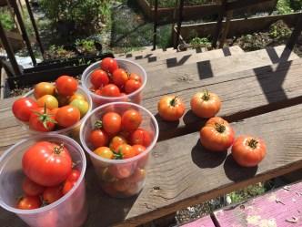Tomato abundance!