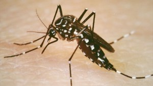 The Aedes aegypti mosquito carries the Zika virus. (Yale University School of Public Health photo)