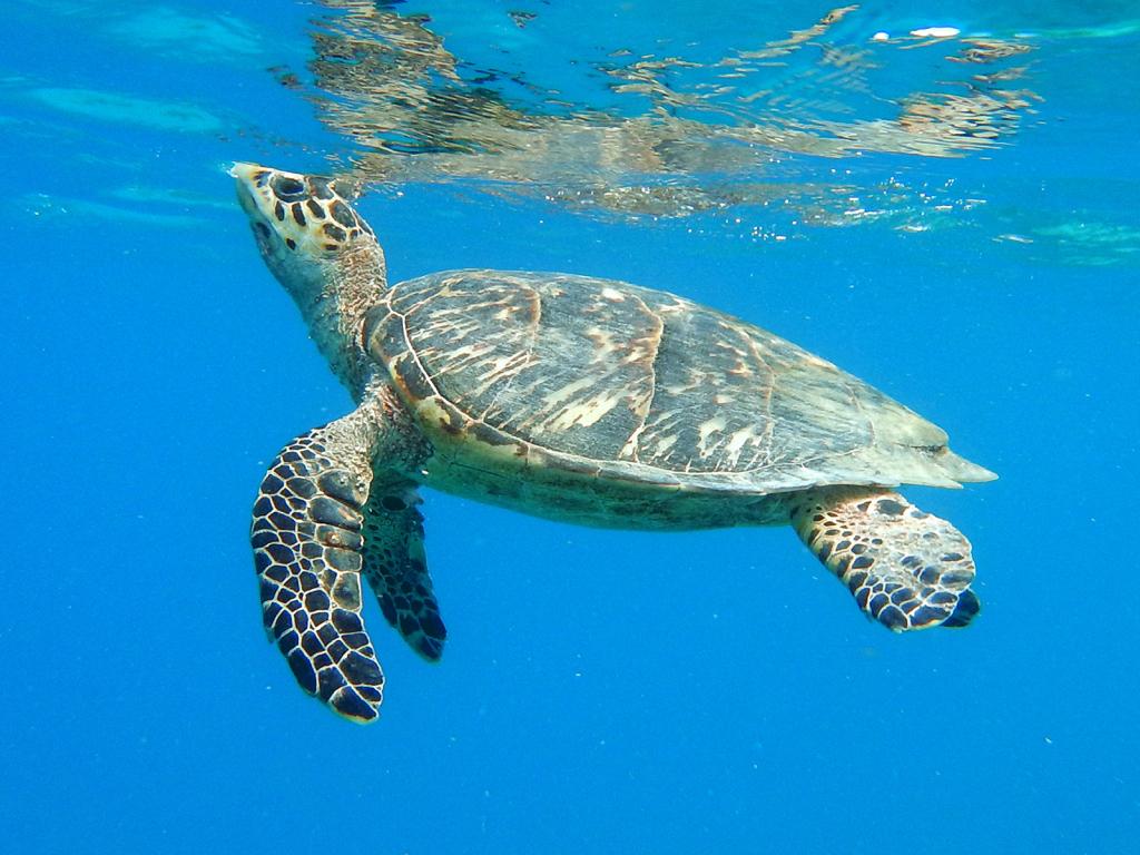 volunteers patrol beaches for sea turtle nests st john source