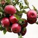 Apple Fruit Skin Care
