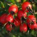 Rosa Canina Fruit Oil Skin Care
