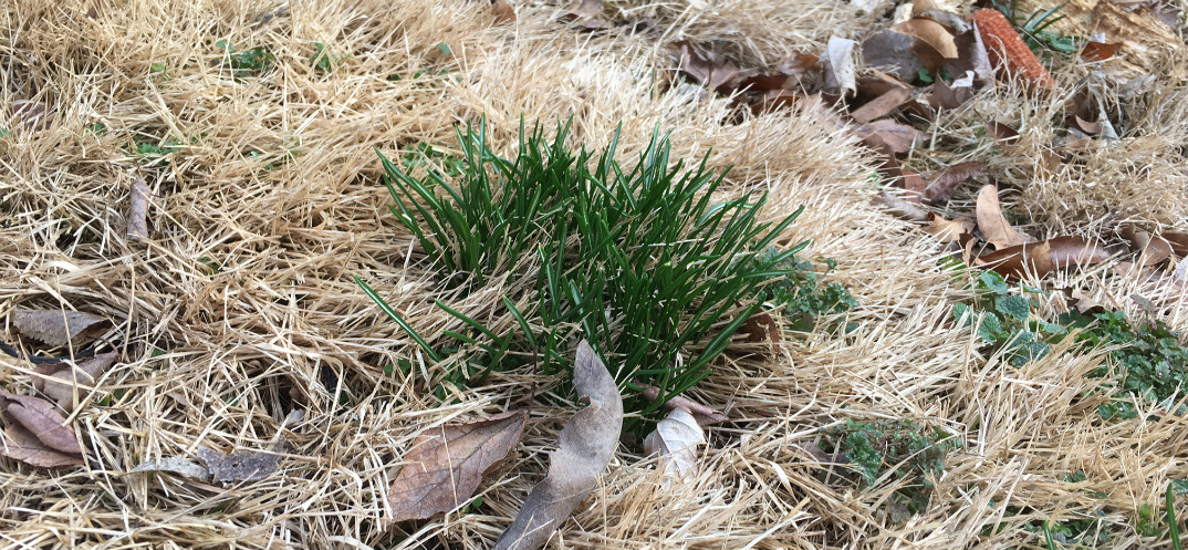 Invasive Plant Tip Dig Up Star Of Bethlehem As It Emerges Wild Ones St Louis Chapter