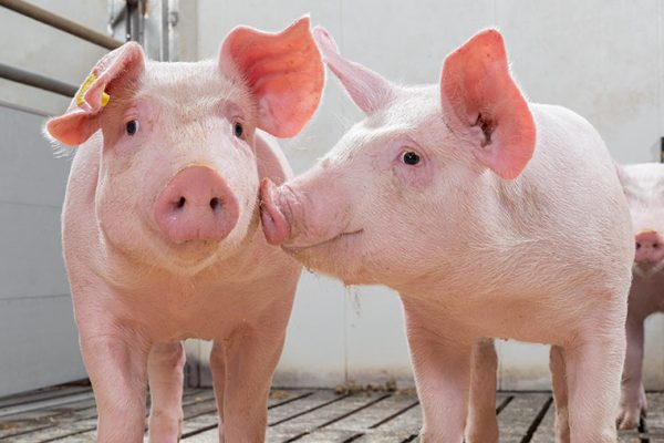 5 zinc oxide alternatives for pigs compared - Farmers Weekly