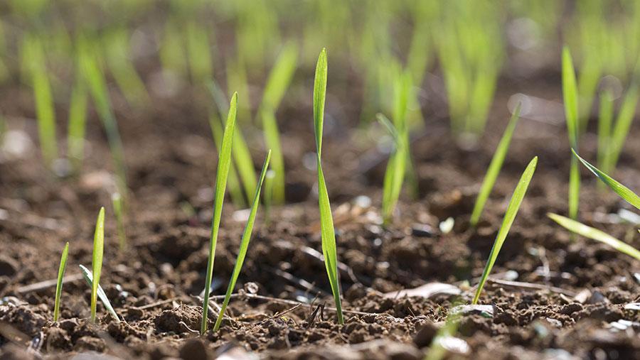 Winter wheat seedling plants