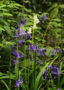 Bluebell flowers in woodland