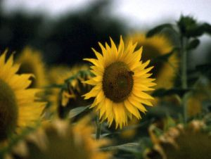 Photograph of field of sunflowers