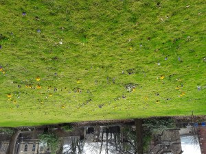 crocuses growing to form a labyrinth path