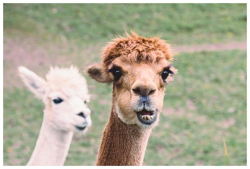 Why Not Alpacas